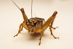 Close-up photo of the cricket gesture on the background.  Royalty Free Stock Image