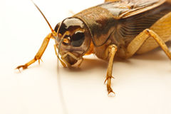 Close-up photo of the cricket gesture on the background.  Stock Image
