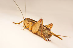 Close-up photo of the cricket gesture on the background.  Royalty Free Stock Photo