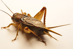 Close-up photo of the cricket gesture on the background.  Royalty Free Stock Photos