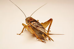 Close-up photo of the cricket gesture on the background.  Royalty Free Stock Photography