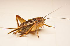 Close-up photo of the cricket gesture on the background.  Royalty Free Stock Images