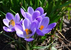 Close up photo of Crocus Flower and Bees. Enjoying early Spring sun stock images