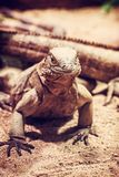 Cuban rock iguana - Cyclura nubile, red filter. Close up photo of Cuban rock iguana - Cyclura nubile. Lizard scene. Animal care. Beauty in nature. Red photo Royalty Free Stock Image