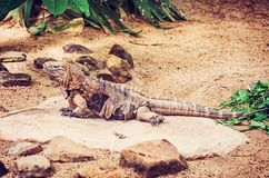 Cuban rock iguana - Cyclura nubile, red filter. Close up photo of Cuban rock iguana - Cyclura nubile. Lizard scene. Animal care. Beauty in nature. Side view. Red Royalty Free Stock Photography