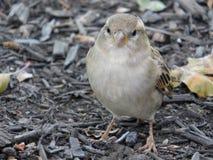 Little gray bird portrait royalty free stock photos