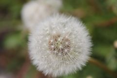 Close Up Photo of Dandelion Stock Photos