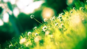 Close Up Photo of Dandelion Stock Images
