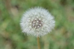 Close up photo of a dandelion puff ball in the center of the photo Stock Images