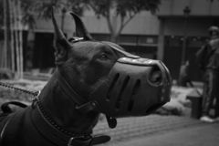 Close-Up Photo of Doberman Pinscher With Black Muzzle Royalty Free Stock Images