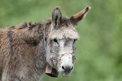 Close-up photo of a domestic donkey Royalty Free Stock Photos