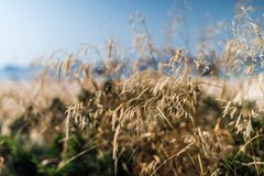 Close Up Photo of Dried Grass Royalty Free Stock Image