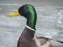 Close up photo of a duck stock photo