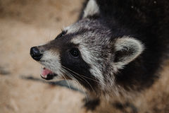 Close-up photo of eating Raccoon Stock Photo