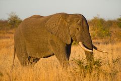 Close-up Photo of Elephant Stock Photography