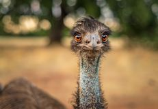 Close-up photo of an emu with a blue throat and orange eyes looking at the camera stock photo