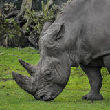 A close up photo of an endangered rhino. / rhinoceros face,horn and eye Royalty Free Stock Photos