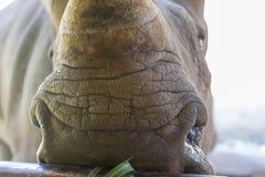 A close up photo of an endangered rhino, rhinoceros face,horn and eye. A close up photo of an endangered white rhino, rhinoceros face,horn and eye stock photos