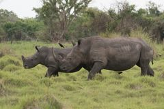 A close up photo of an endangered white rhino / rhinoceros face,horn and eye. South Africa. Uganda stock photos