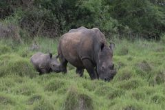 A close up photo of an endangered white rhino / rhinoceros face,horn and eye. South Africa. Uganda stock image