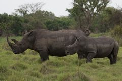 A close up photo of an endangered white rhino / rhinoceros face,horn and eye. South Africa. Uganda stock images