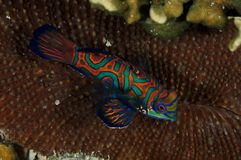 Mandarin Fish over a hard coral, shot in Palau Micronesia royalty free stock photography