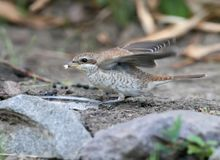 Close-up photo Female red backed shrike sitting on the ground. And holding a fly in the beak Stock Image