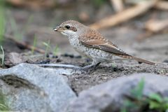 Close-up photo Female red backed shrike sitting on the ground. And holding a fly in the beak of a fly Stock Images