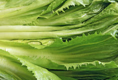 Endive Stock Images