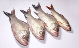Fresh carp fishes on a white background. A close up photo of fresh raw carp fishes on the isolated white background-sea food photography Stock Photos