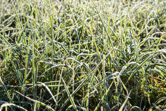 Close up photo of frosty morning grass, chilling morning Royalty Free Stock Photography