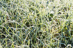 Close up photo of frosty morning grass, chilling morning Stock Images