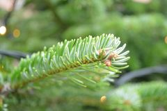Close up fruit photo of pine tree royalty free stock photography