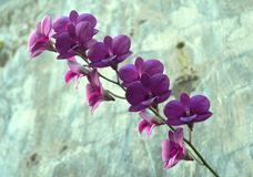 Full purple dendrobium orchid on its stem royalty free stock image