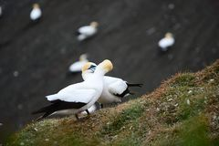 A close up photo of a Gannet Morus serrator, a seabird and a fantastic fish hunter. royalty free stock image