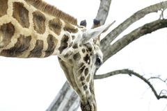 Close-up photo of a giraffe royalty free stock photography