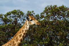 A close up photo of a giraffe with trees in the background .Pi. Cture taken in Port Elizabeth, South Africa, Circa 2017 Stock Image