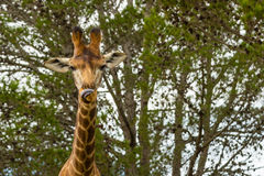 A close up photo of a giraffe with trees in the background .Pi. Cture taken in Port Elizabeth, South Africa, Circa 2017 Stock Images