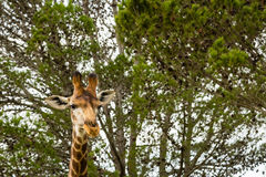 A close up photo of a giraffe with trees in the background .Pi. Cture taken in Port Elizabeth, South Africa, Circa 2017 Royalty Free Stock Images