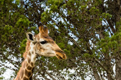 A close up photo of a giraffe with trees in the background .Pi. Cture taken in Port Elizabeth, South Africa, Circa 2017 Stock Photo