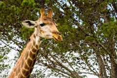 A close up photo of a giraffe with trees in the background .Pi. Cture taken in Port Elizabeth, South Africa, Circa 2017 Stock Photography