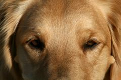 Close Up of Golden Retriever Dog Eyes Royalty Free Stock Photo