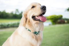 Close up photo of Golden Retriever puppy with green collar sitting in the summer park. royalty free stock images