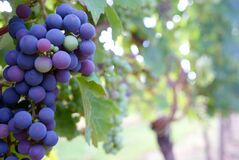 Close Up Photo of Grape Fruit Royalty Free Stock Images