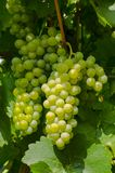 Close-up photo of a grape vine in a vineyard between green leave Stock Photography