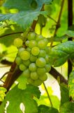 Close-up photo of a grape vine in a vineyard between green leave Stock Photo