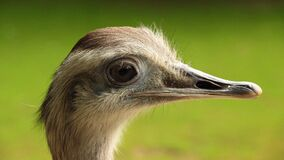 Close Up Photo Graphy of Ostrich Head Royalty Free Stock Photos