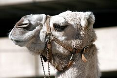 Close Up Photo of Gray Camel Royalty Free Stock Photos