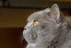 Close-up photo of a gray cat`s head with yellow eyes Stock Image