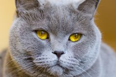 Close-up photo of a gray cat`s head with yellow eyes. On a blurred background Royalty Free Stock Image